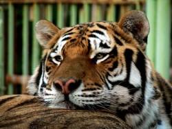 Oaza tygrysa syberyjskiego Kráľová pri Senci